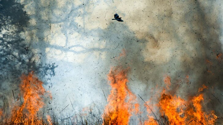 A bird flying above a fire, holding twigs in its beak