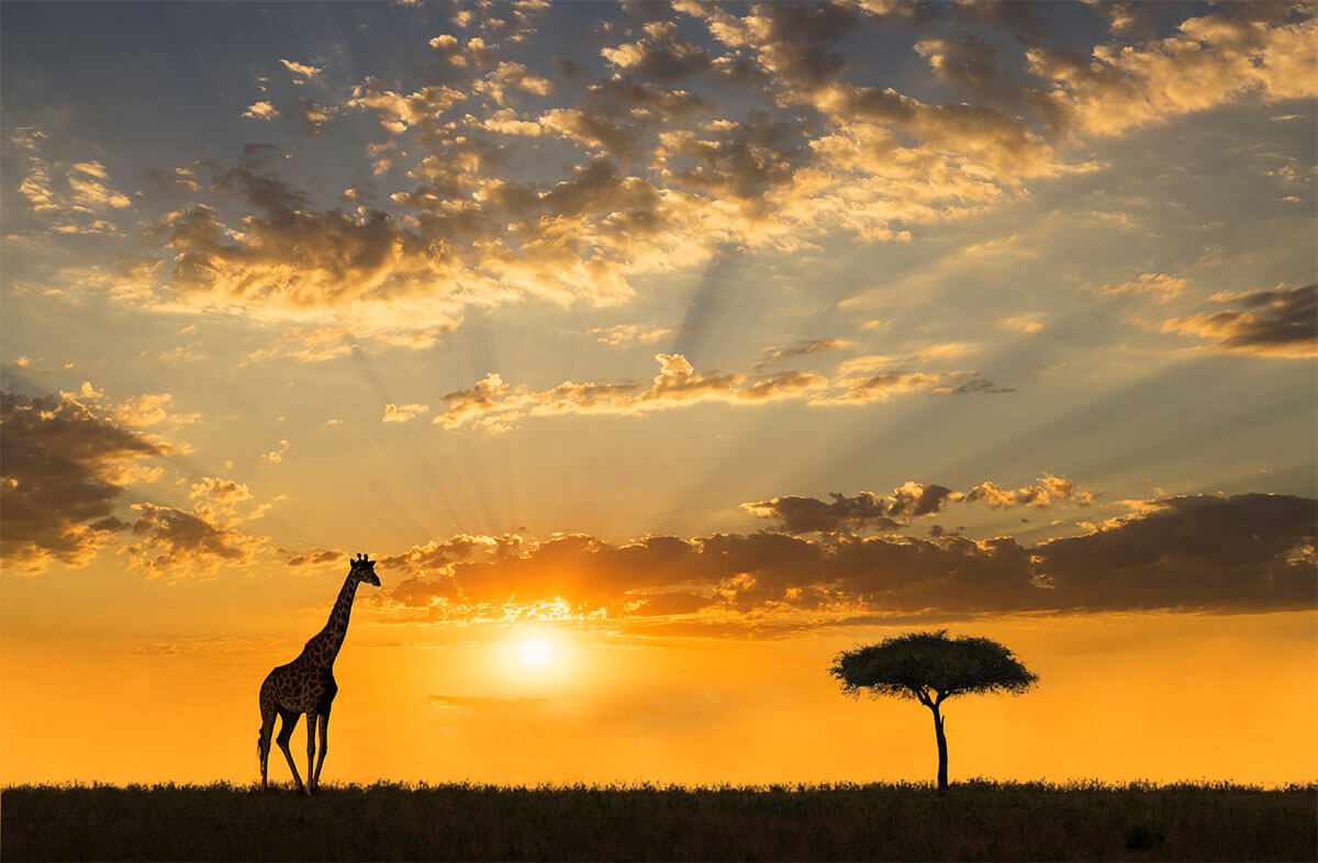A giraffe standing next to an acacia tree in the savannah at sunset