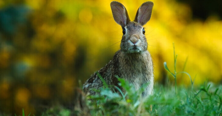 A rabbit looks at a camera whilst sitting in a field