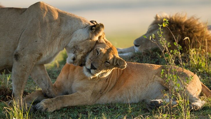 Charm the lioness with her daughter Yaya