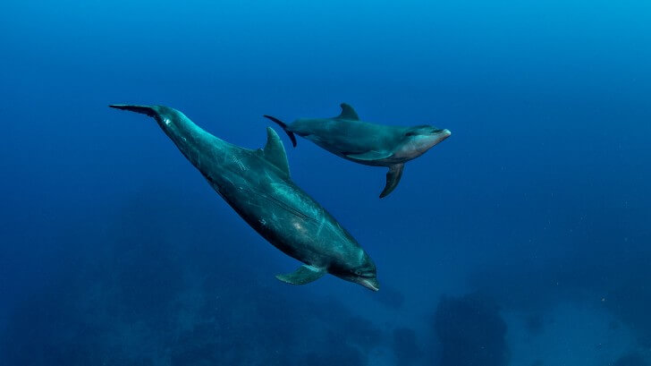 Two dolphins swimming underwater in the deep blue sea