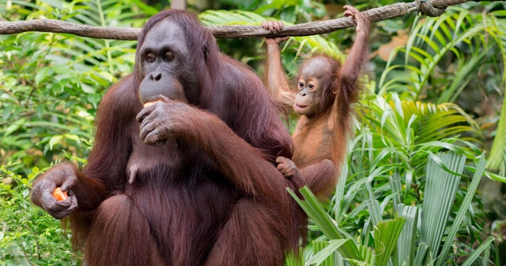 An adult and baby orangutan in the trees