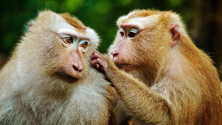 Two primates grooming each other
