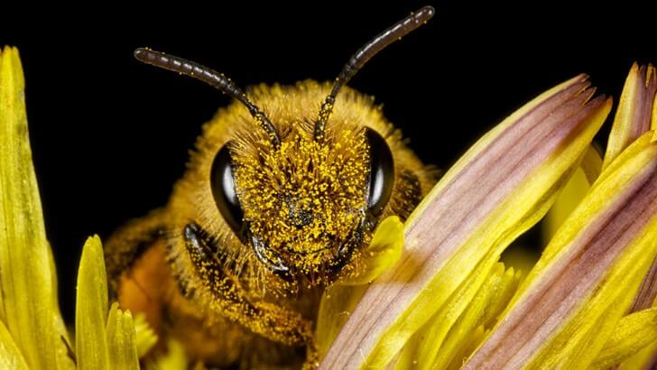 A close up picture of a honey bee on a flower