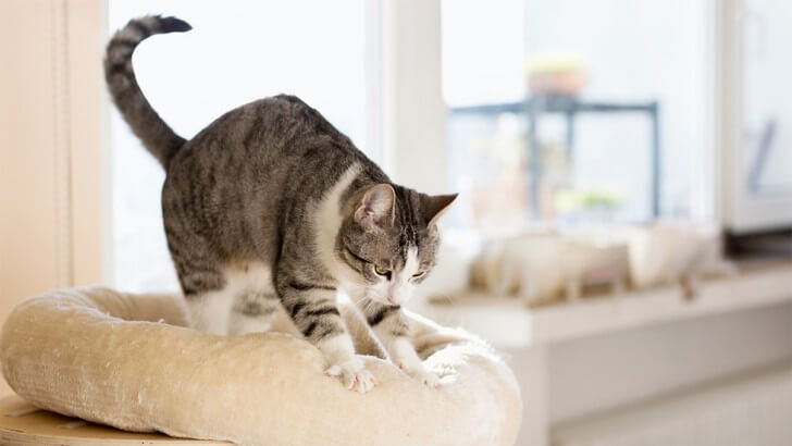 A tabby and white cat kneads a cushion