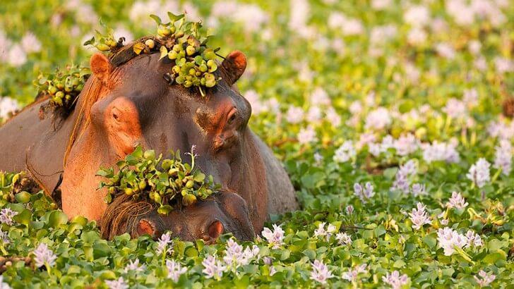 A hippo in a flowery marsh