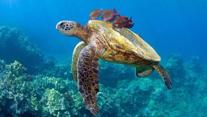 A sea turtle swims above coral with fish on its back