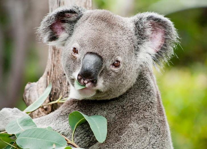 A koala eating eucalyptus leaves