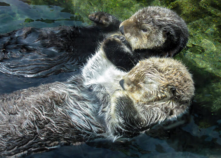 Two sea otters holding paws while asleep
