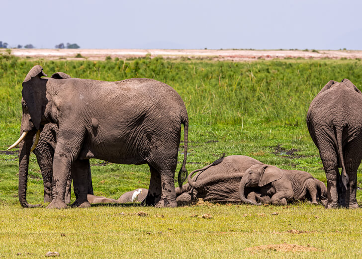 A herd of elephants with one sleeping on the ground