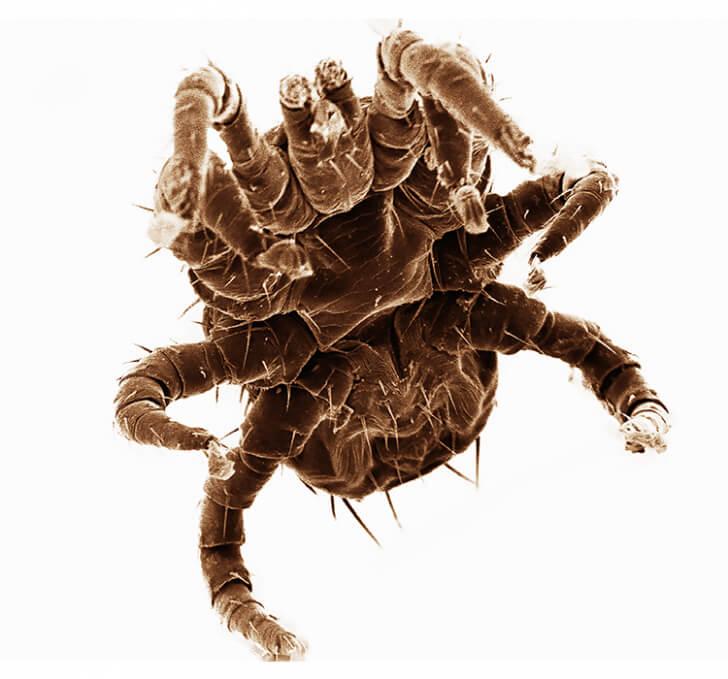 A pregnant mite