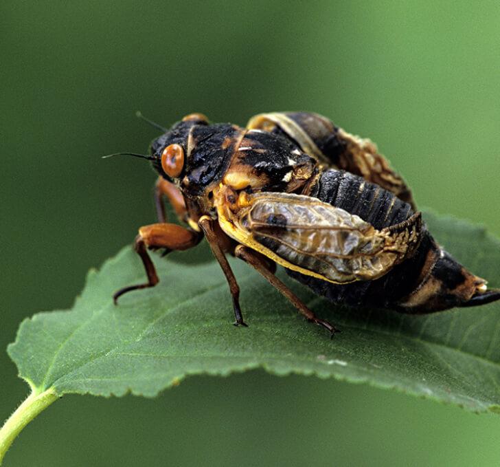 A cicada on a leaf