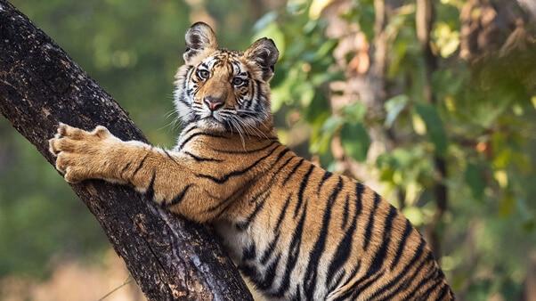 A tiger cub clinging to a tree