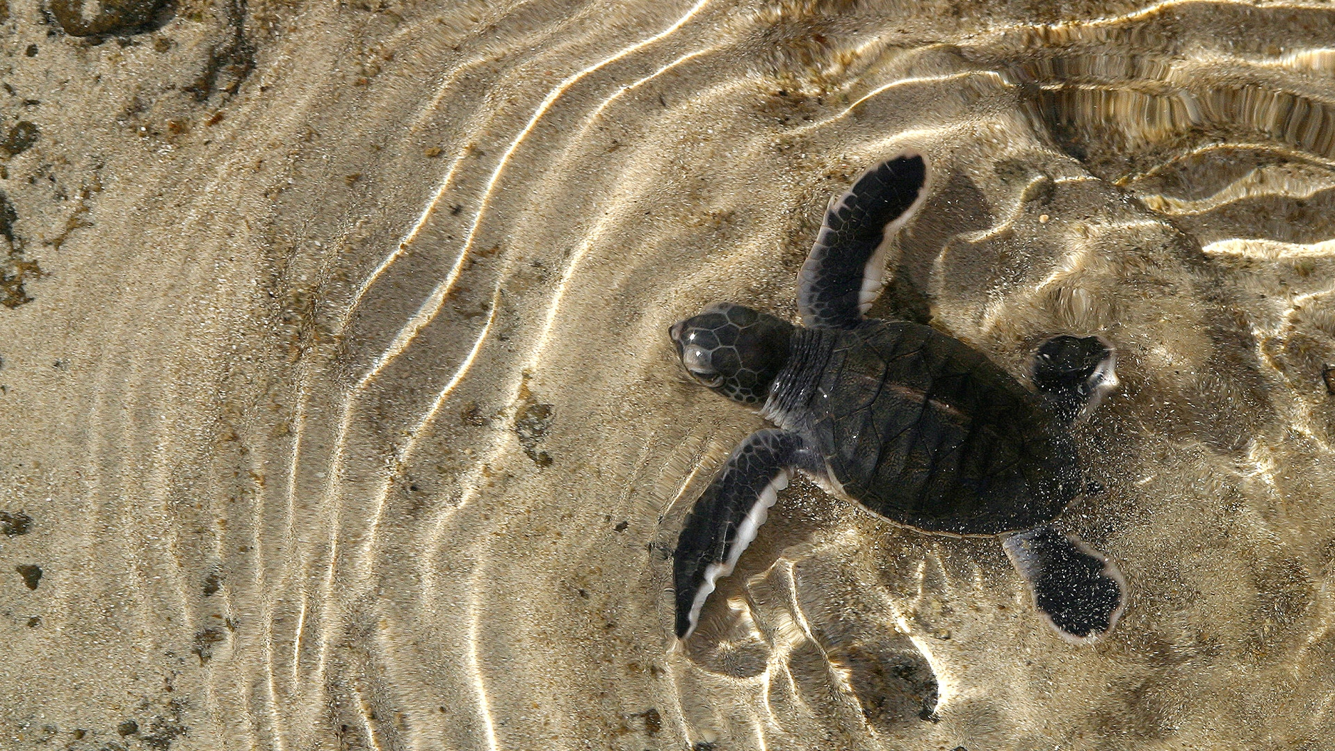 Baby hawksbill turtle swimming