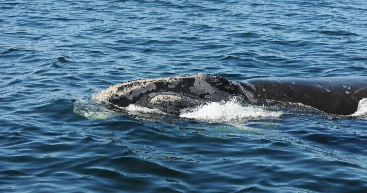 North Atlantic right whale #2340 in the Gulf of St Lawrence (Credit: Kelsey Howe/Anderson Cabot Center, New England Aquarium)