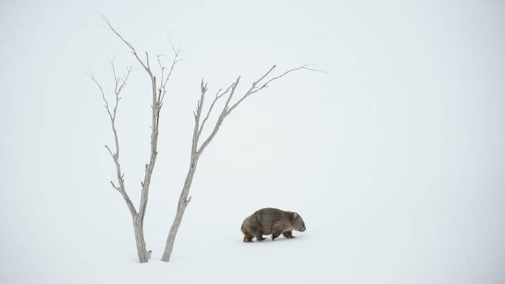 A wombat walks through the snow in Australia