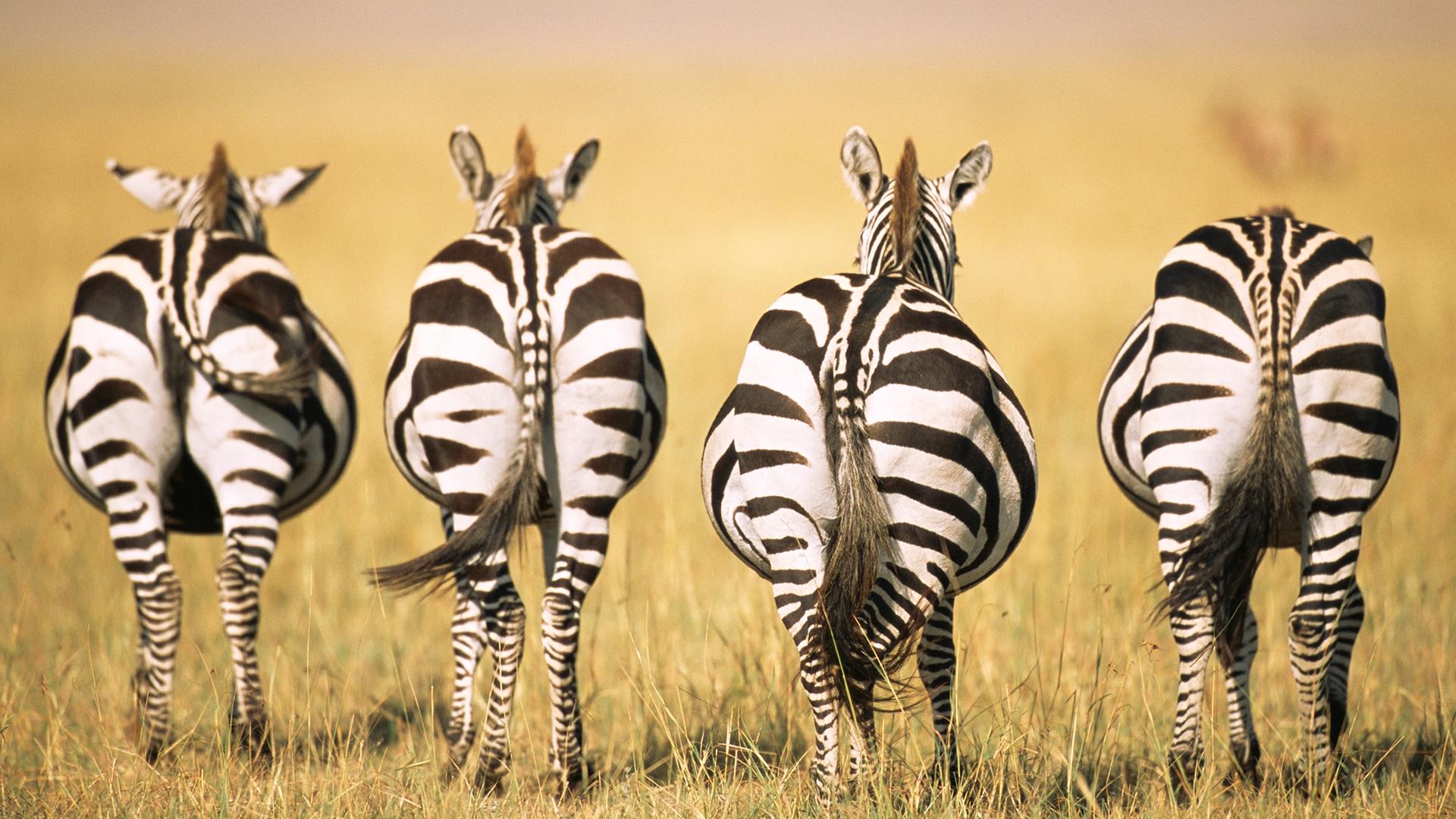 Four zebra facing away