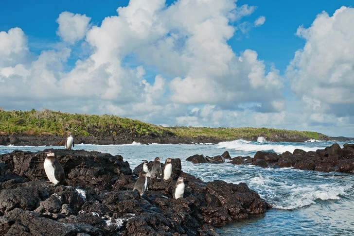 Galapagos penguins on some rocks