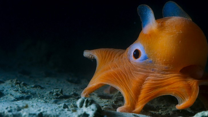 This flapjack octopus lives in the deep waters off California