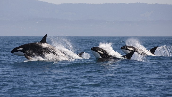 Orcas swimming