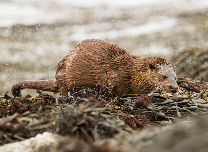 Otter eating some seaweed