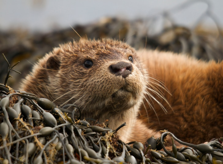 Otter looking towards camera
