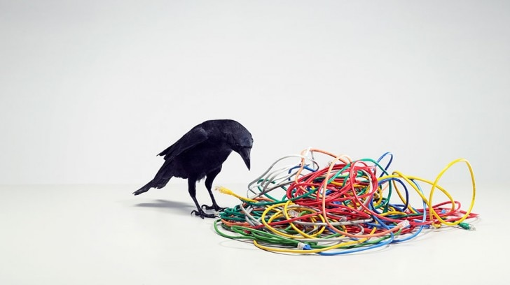 Raven surrounded by some rubber rings