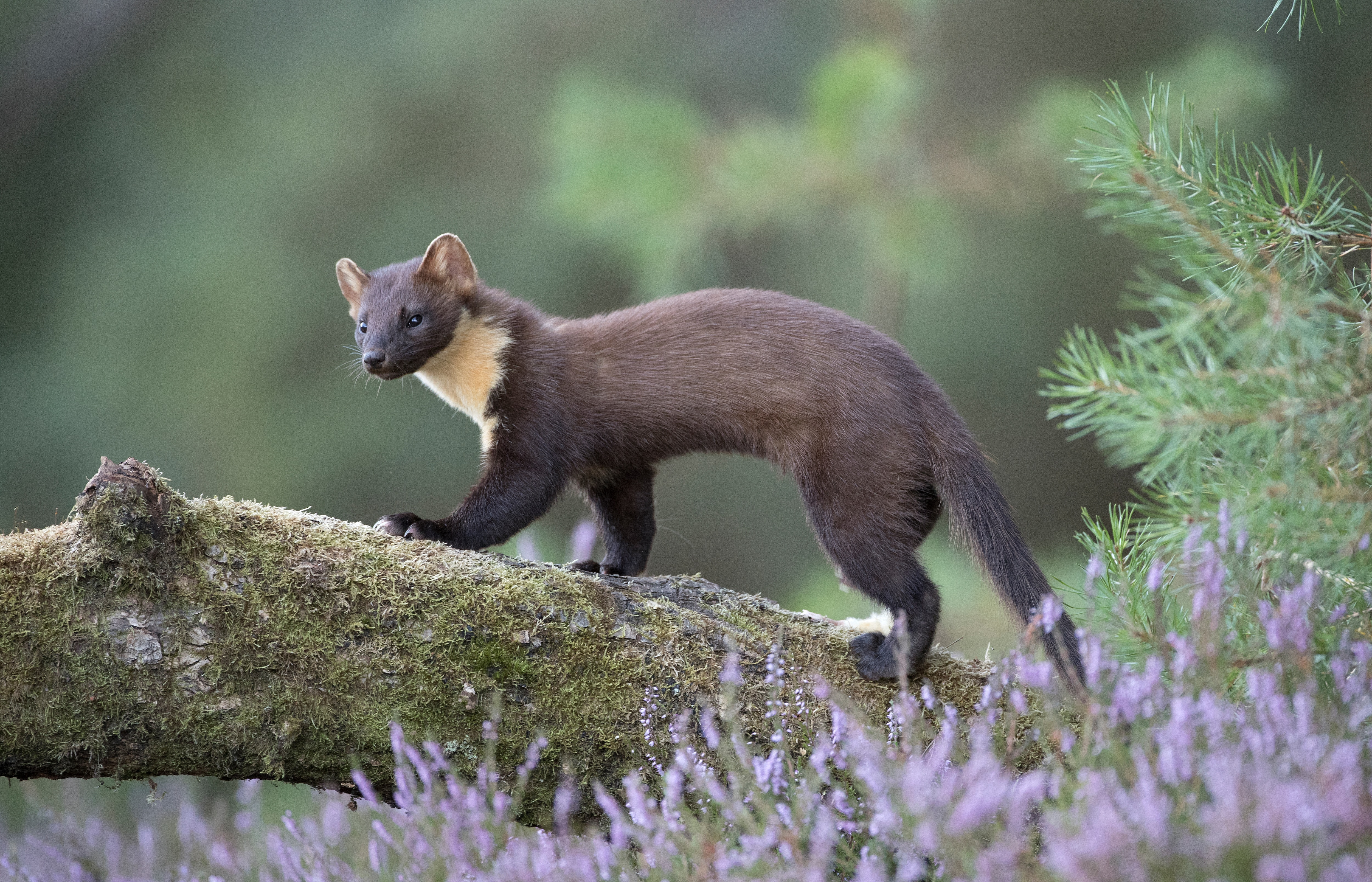 Pine marten standing on a tree