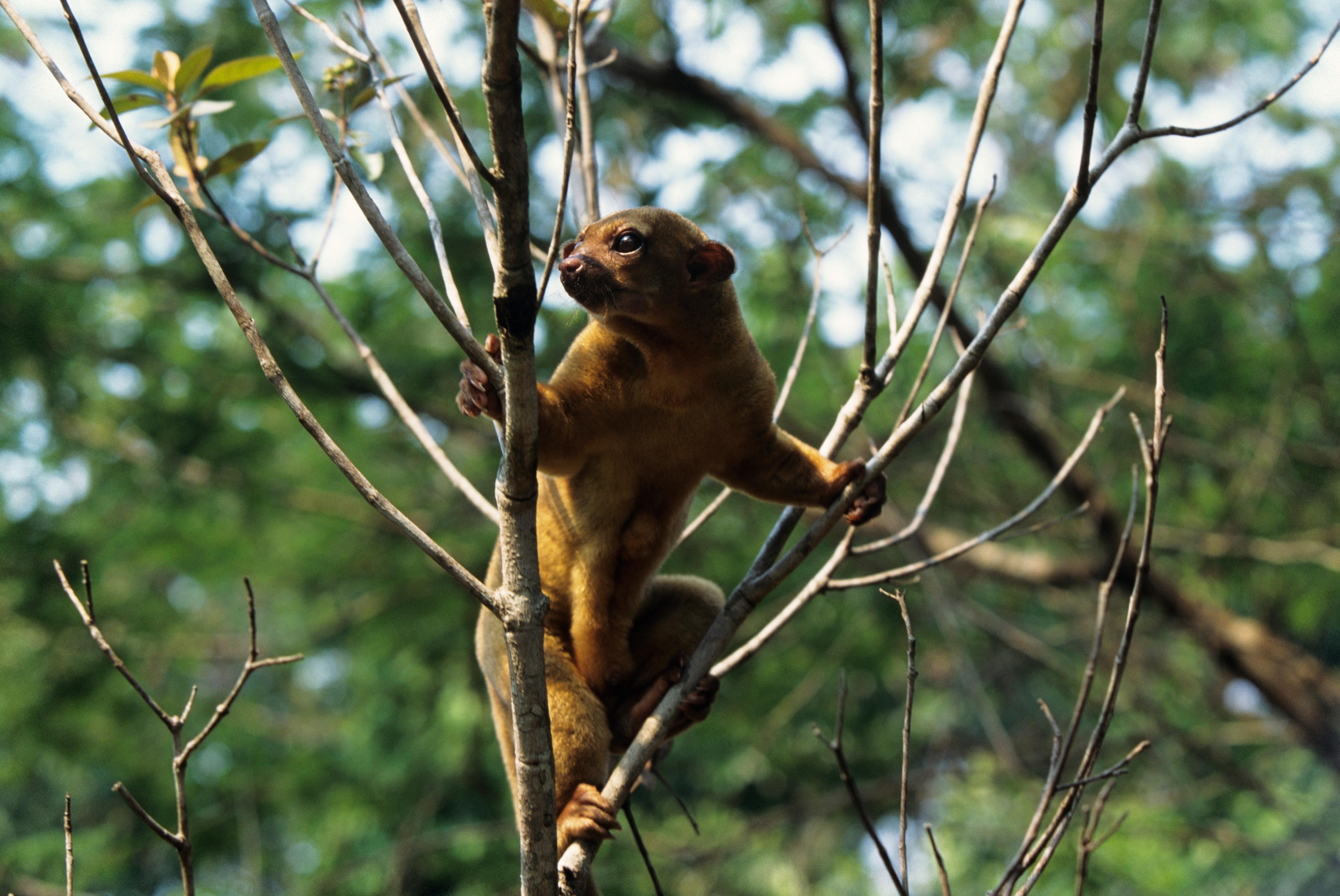 kinkajou in a tree