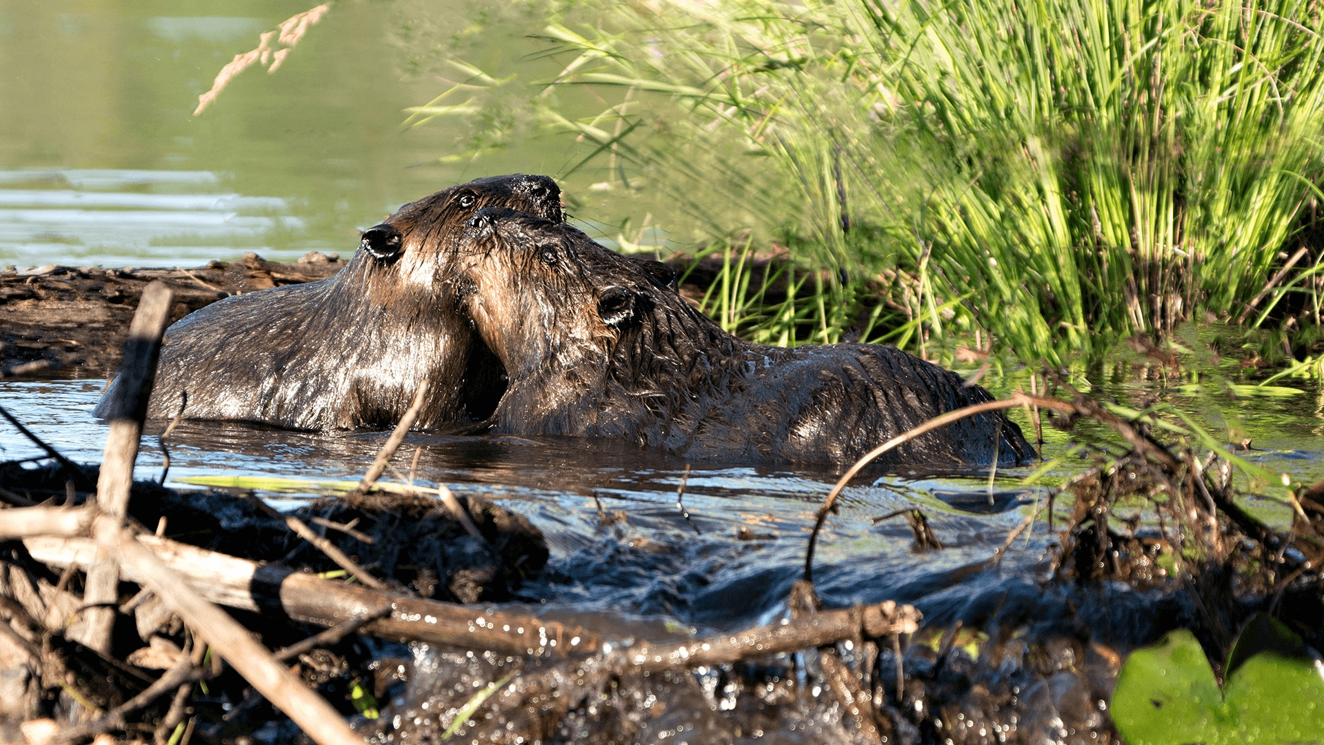 Beavers grooming each other