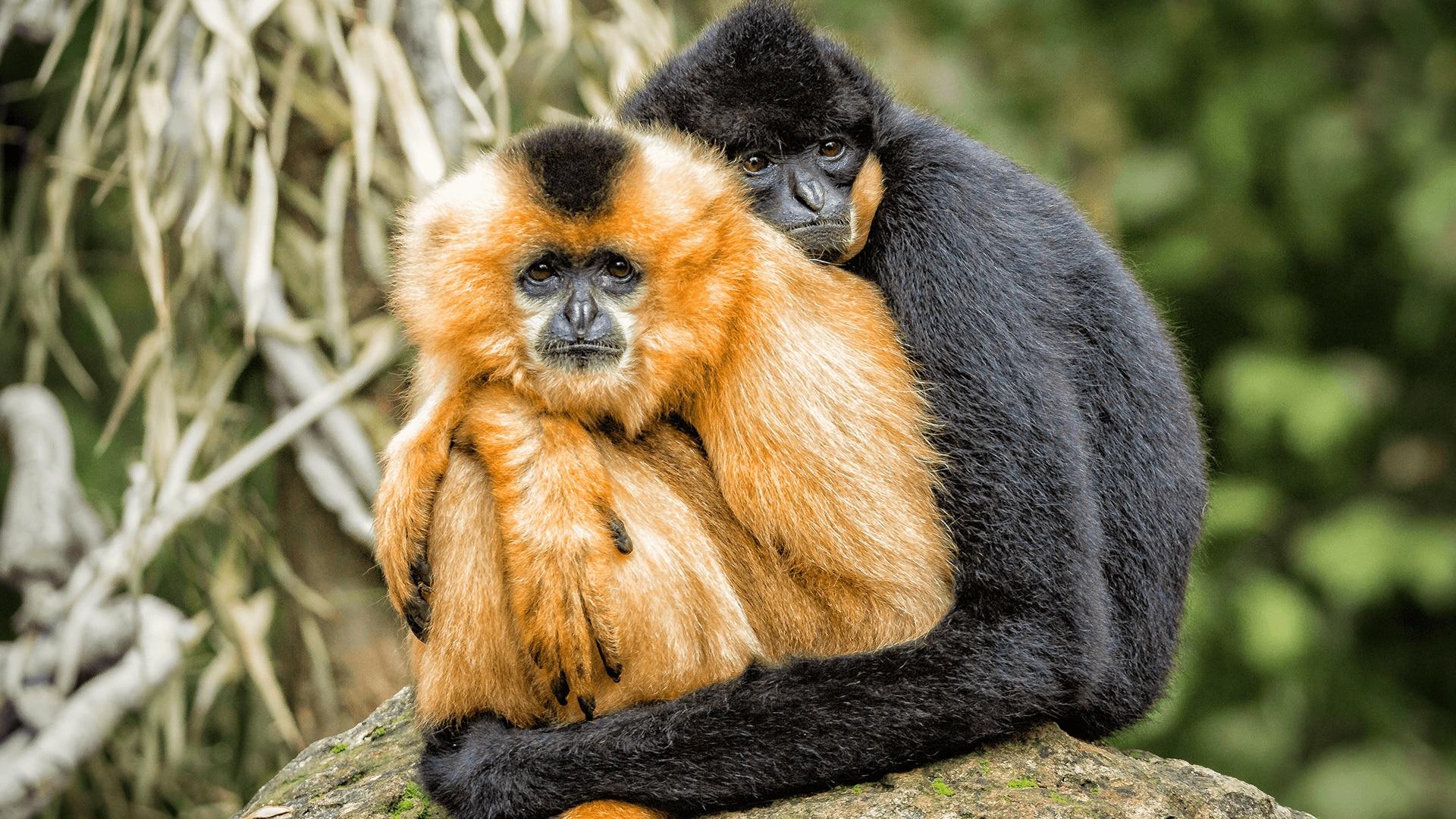 Gibbons embracing
