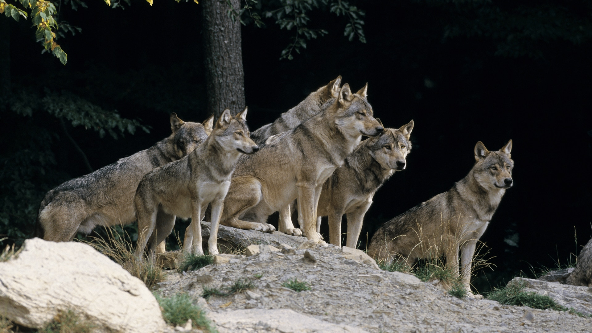 Pack of grey wolves on a rock