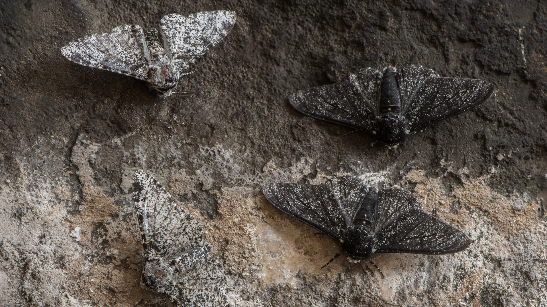 Peppered moths on a tree