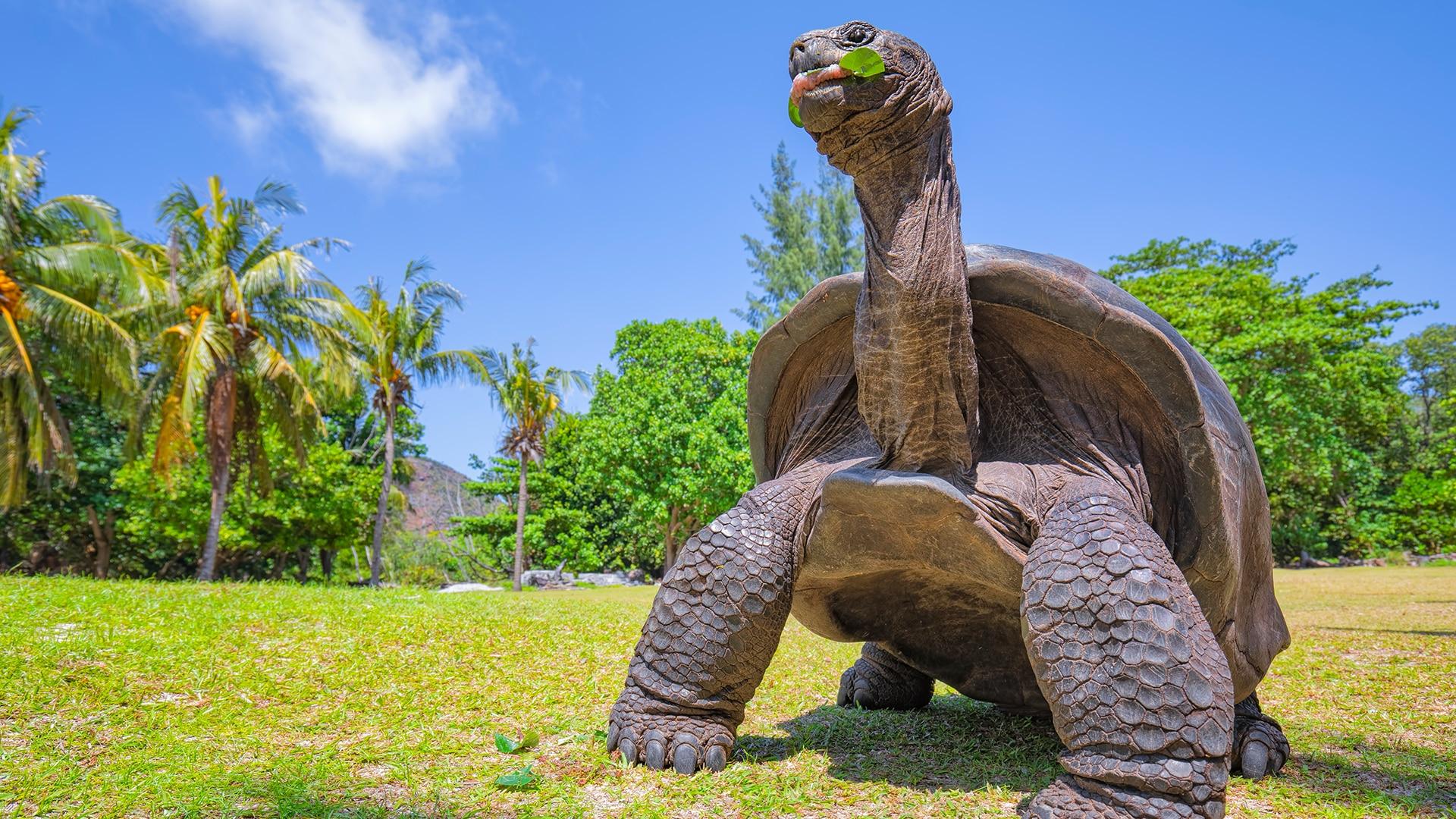 Giant tortoise in Seychelles