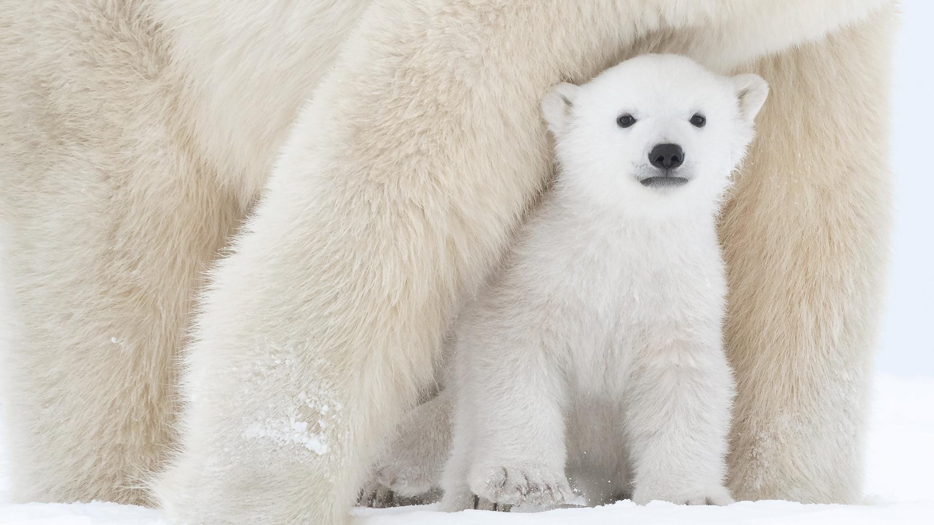 Polar bear cub in Wapusk National Park, Canada