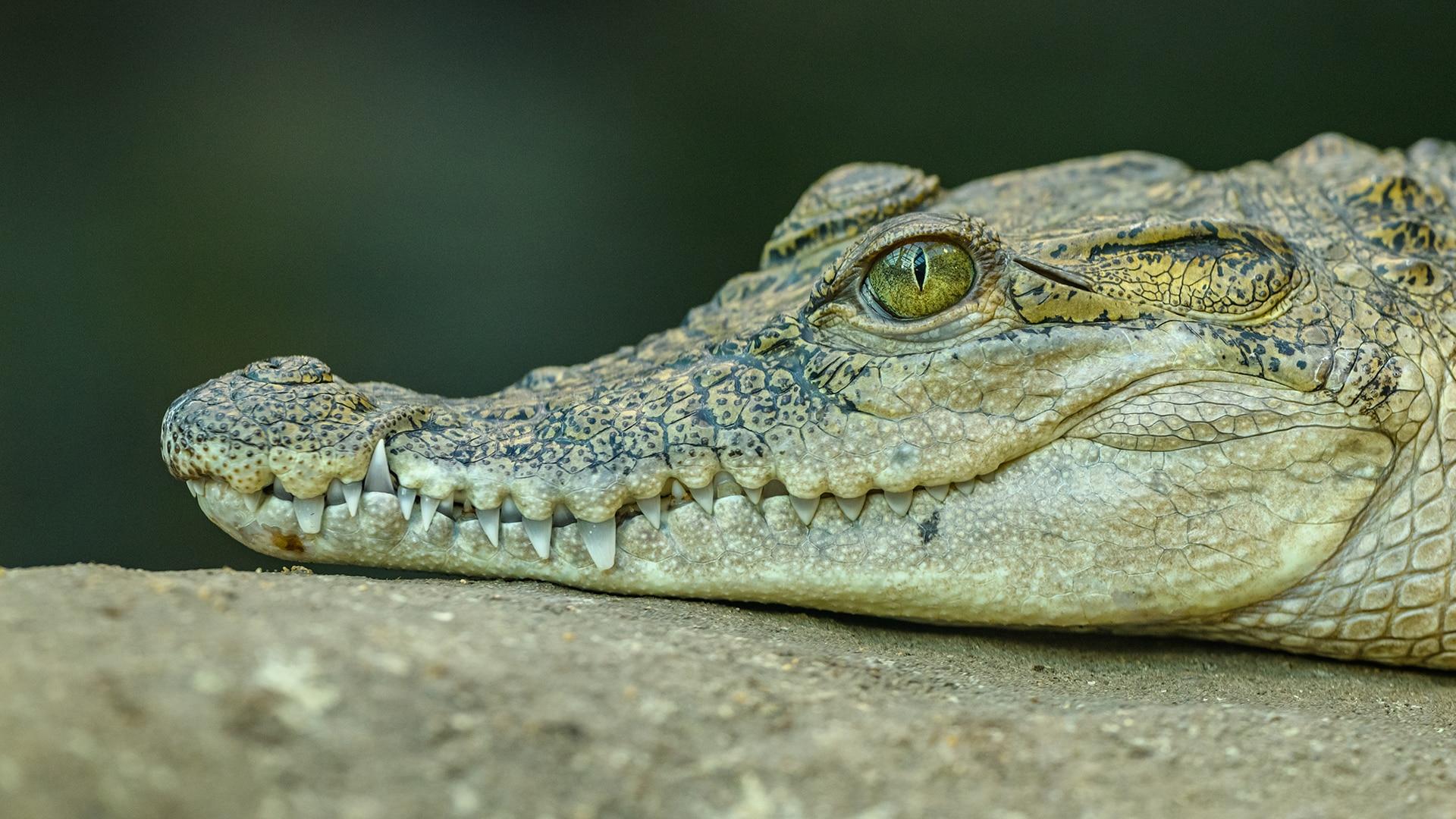 Crocodile head