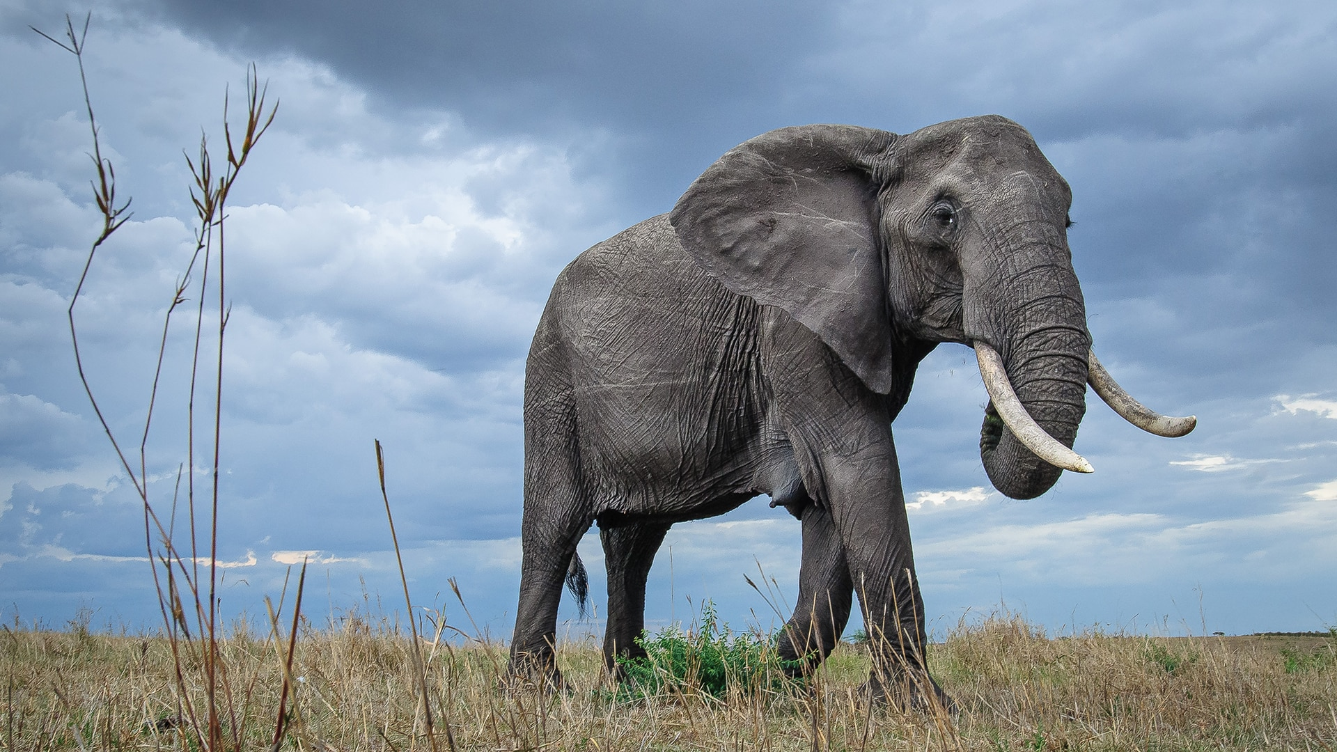 Elephant Matriarch walks through Maasai Mara Reserve, Kenya