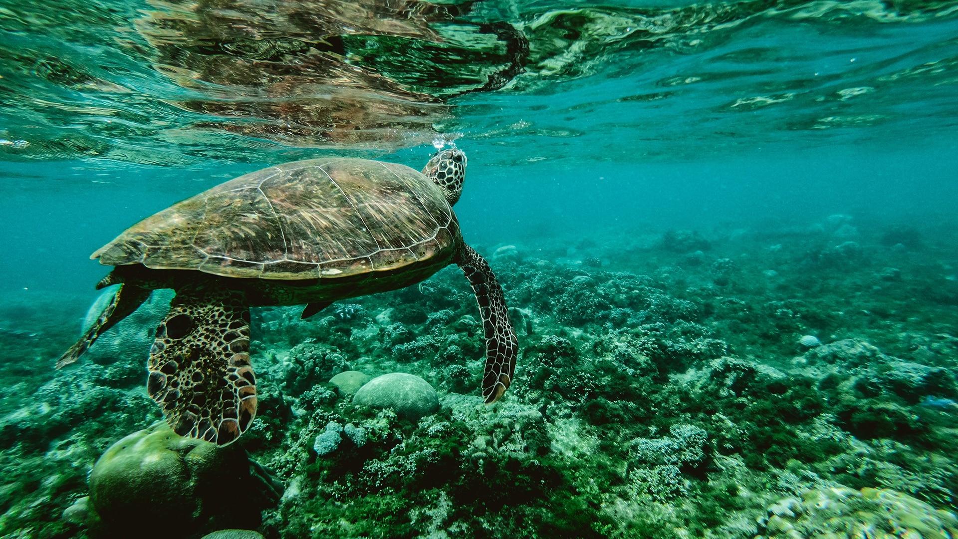 Sea turtle swims in the ocean