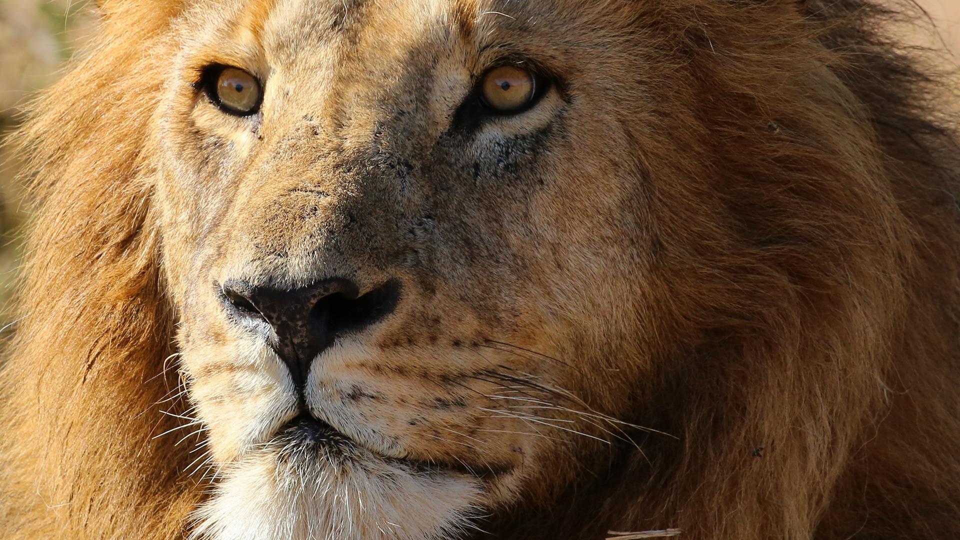 Adult male lion fiercely stares ahead in Mara Naboisho Conservancy, Kenya