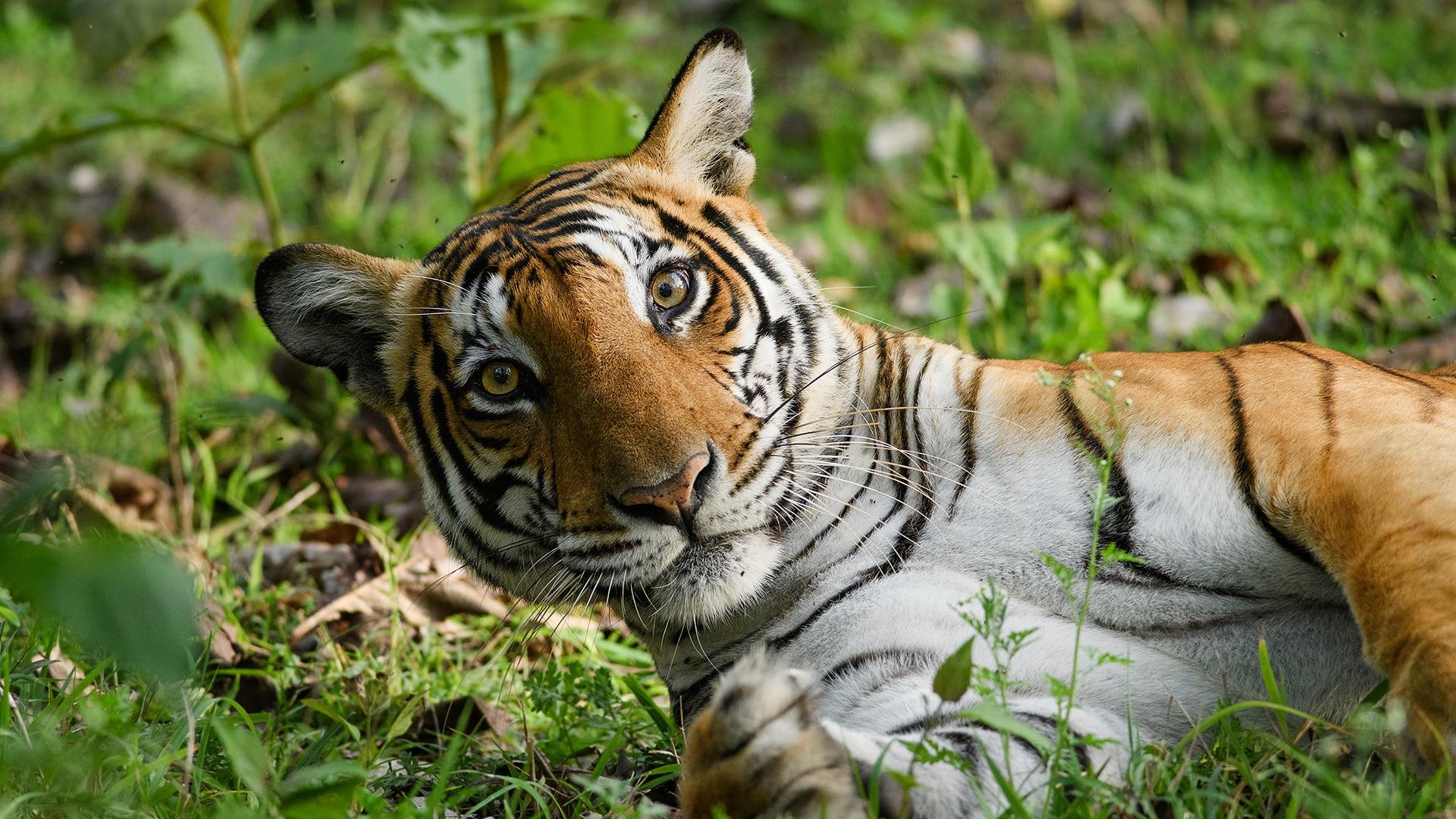 Tigers stares to camera in Kabini, Nagarhole Tiger Reserve, Karnataka, India