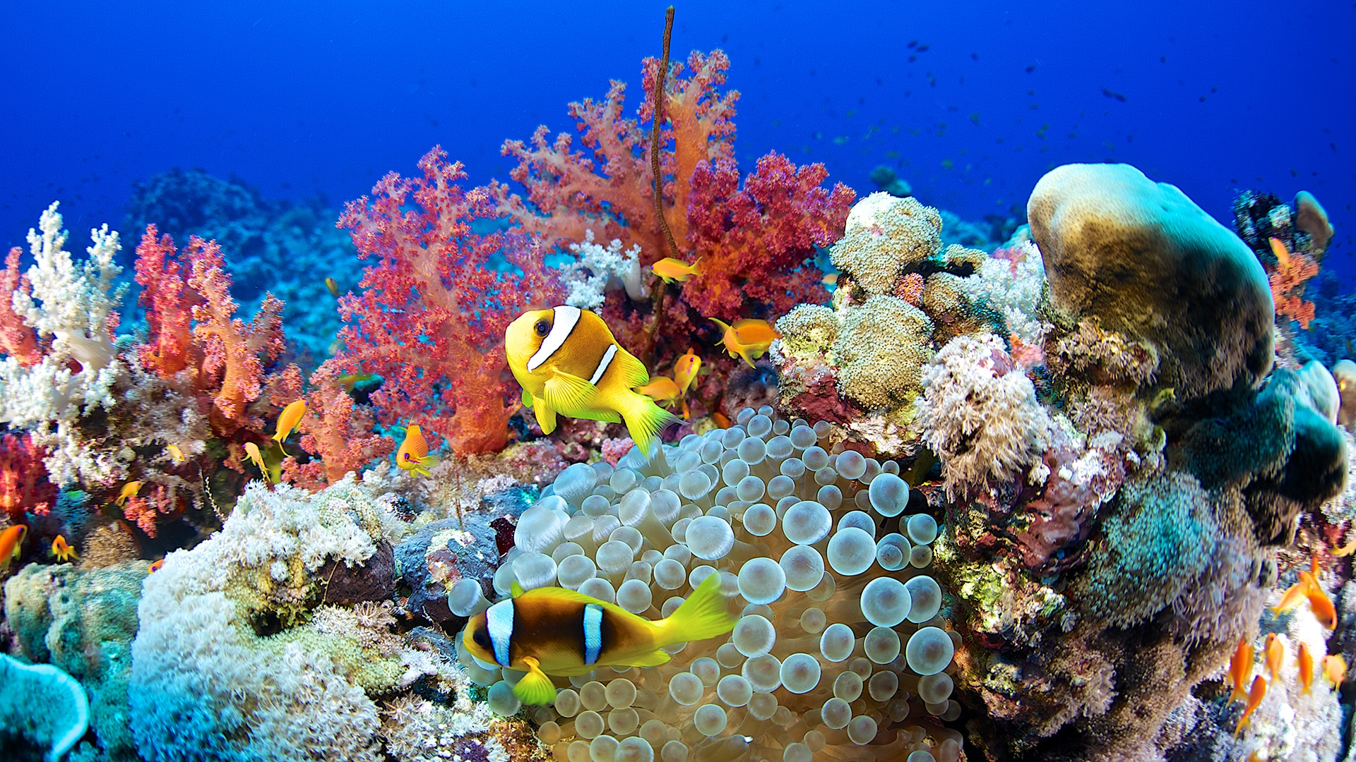 Clownfish and coral reef