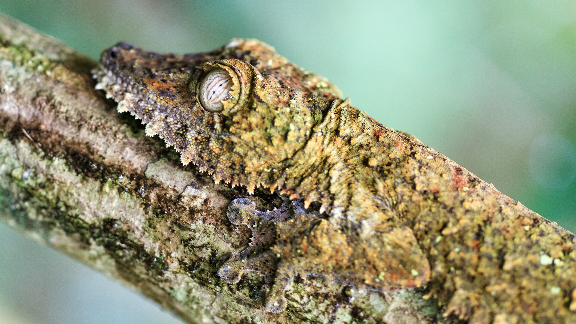 Giant leaf-tailed gecko on branch