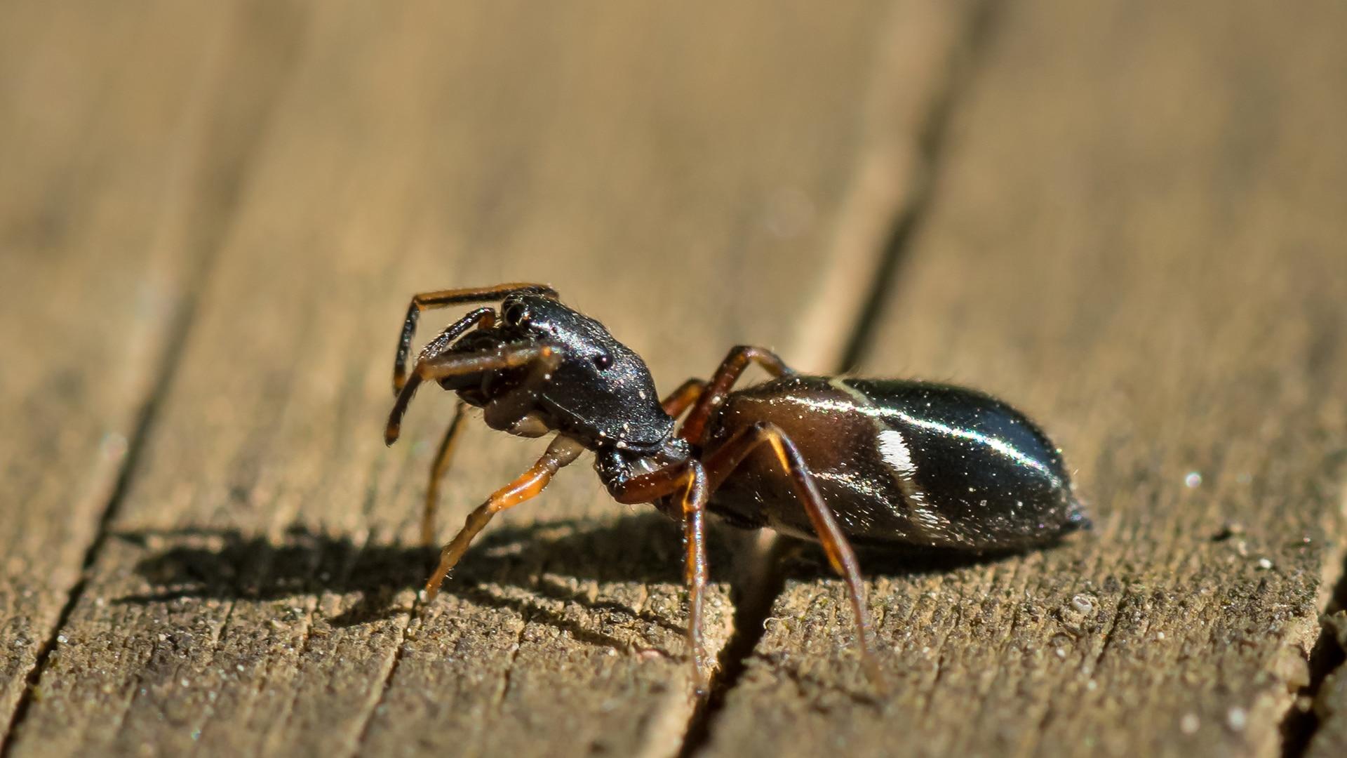 Jumping spider or myrmarachne formicaria