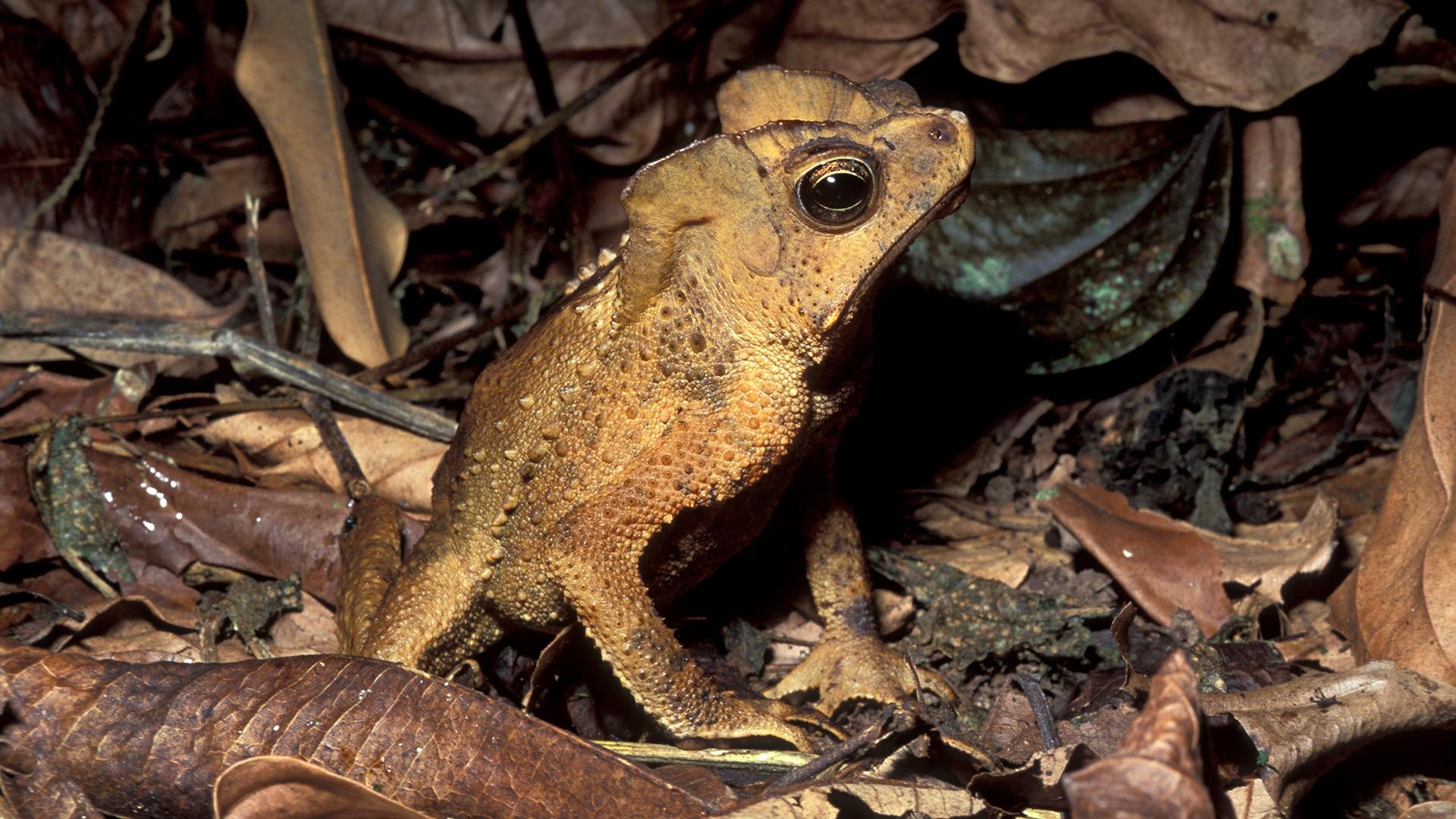 Leaf litter toad