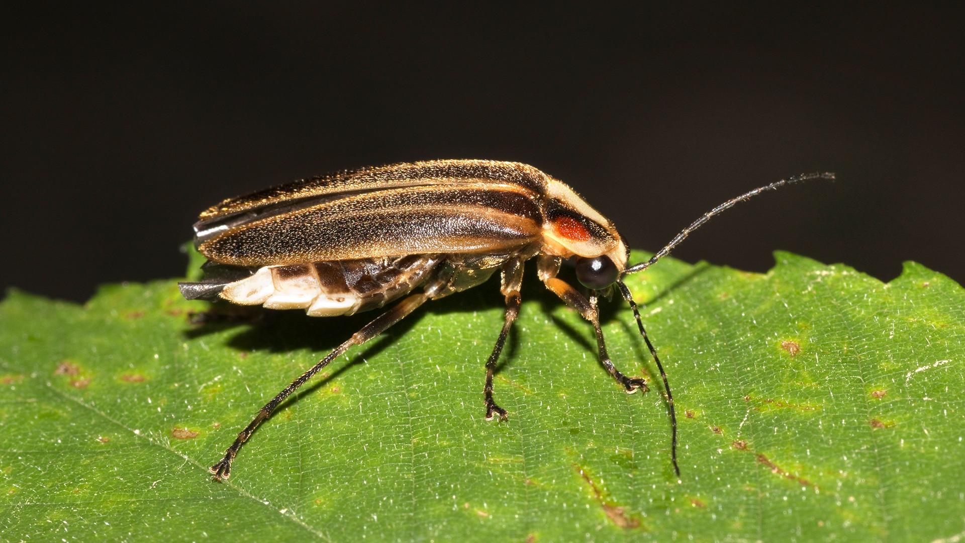 Photuris firefly sits on leaf