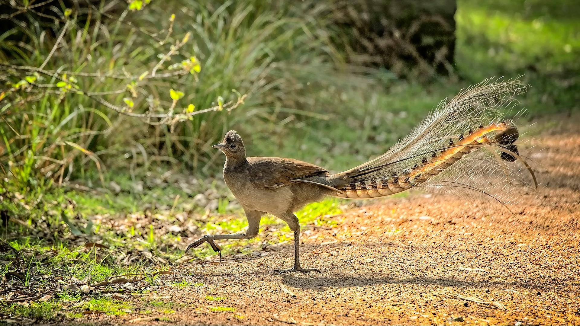 Superb Lyrebird walks by grass in dappled sunshine