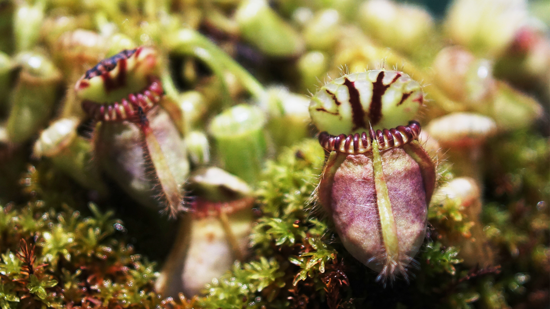 Two small purple and green pitcher plants on a forest floor