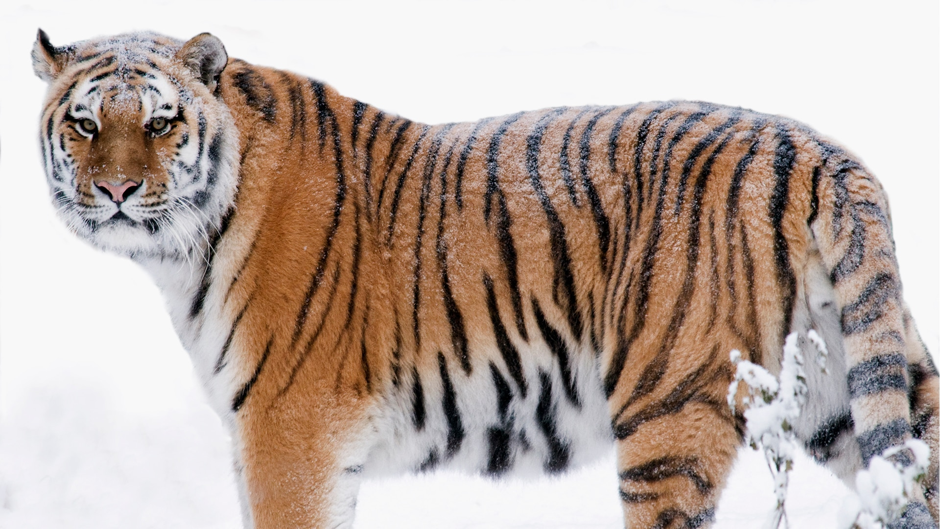 Amur tiger walks in the snow