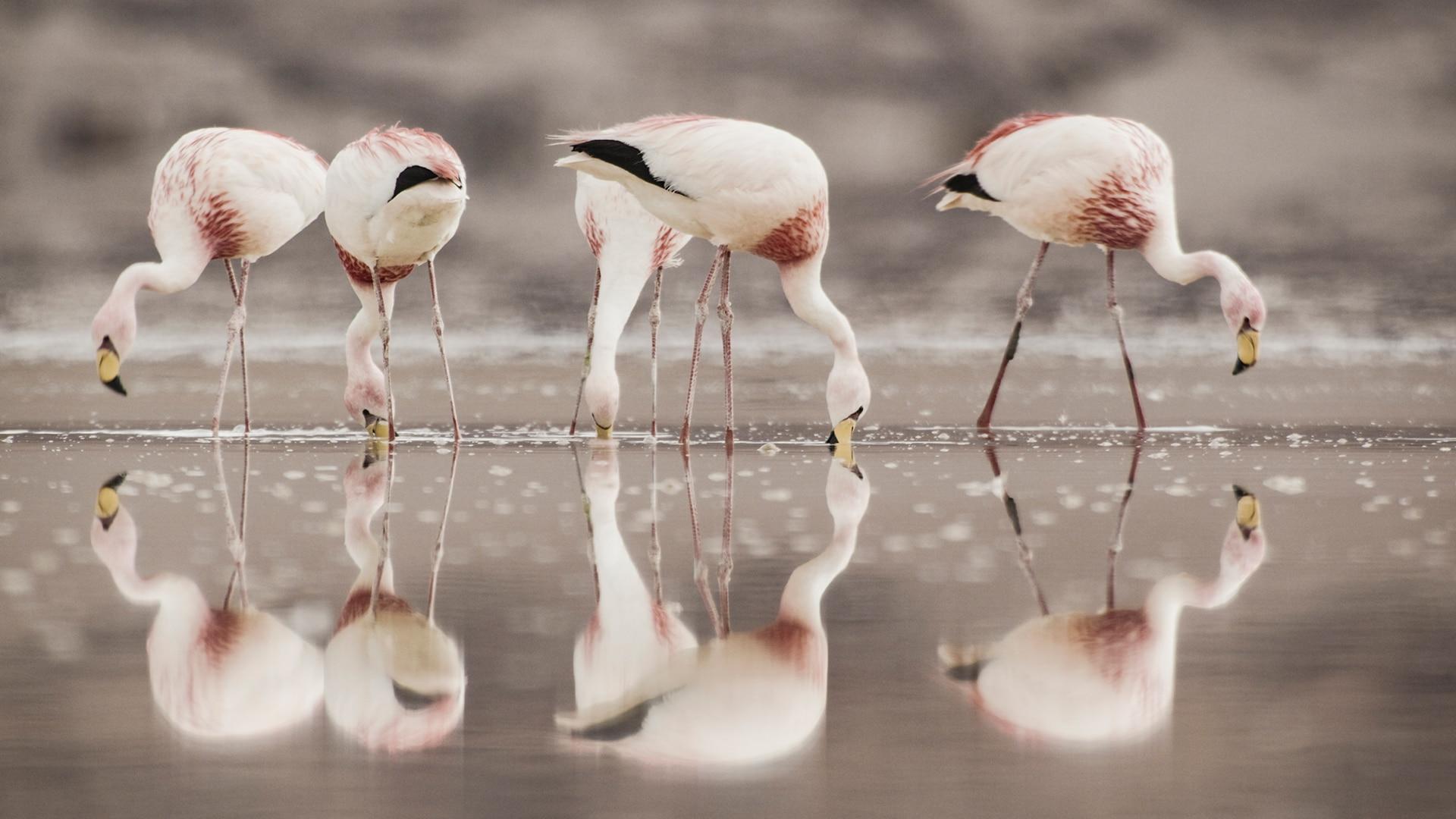 Flamingos feed on brine shrimp in high altitude lagoons