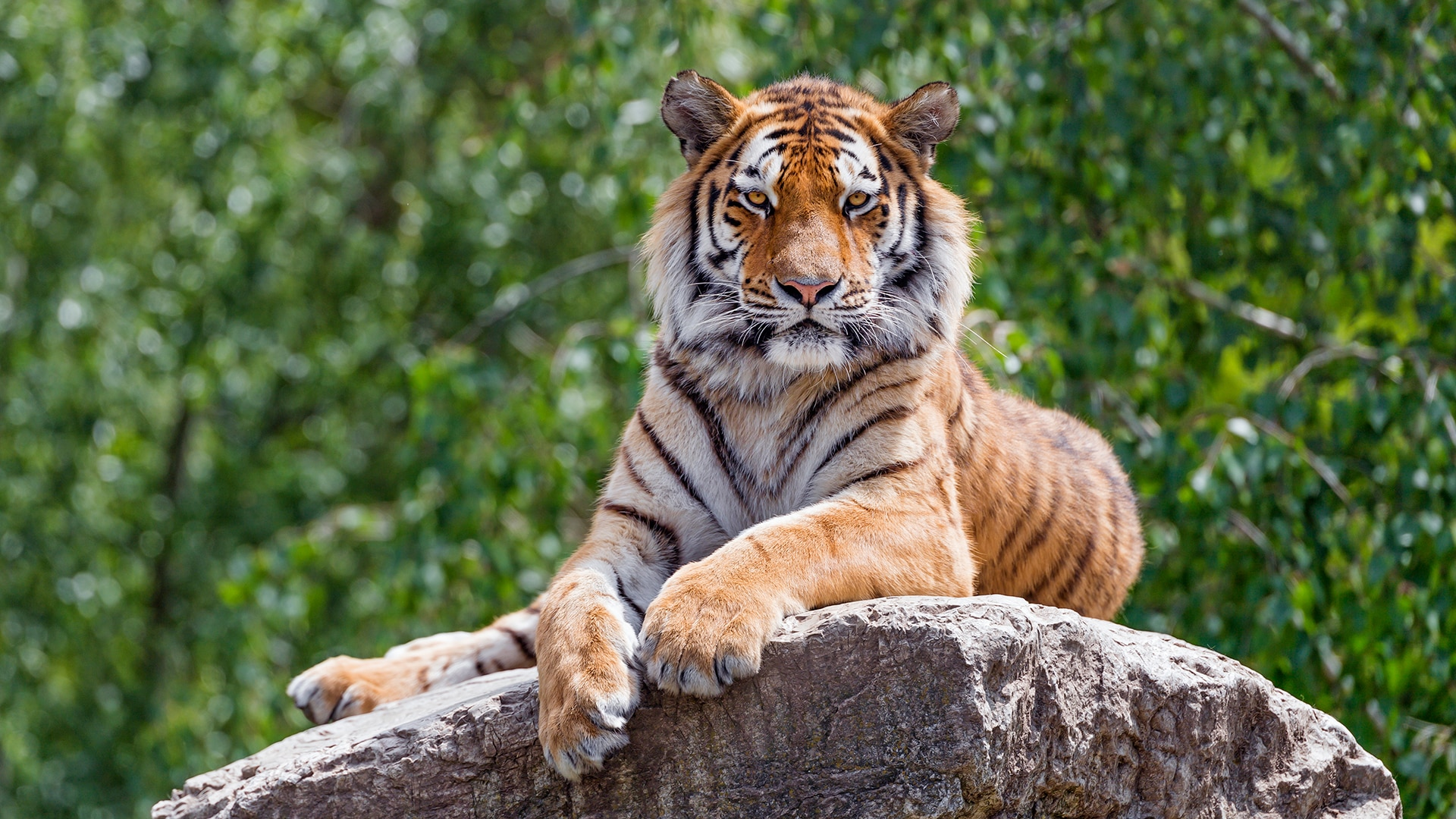 Amur tiger sits atop a rock